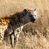 Spotted Hyaena, Africa