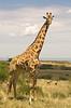 #AF 008 Giraffe, Maasai Mara, Kenya