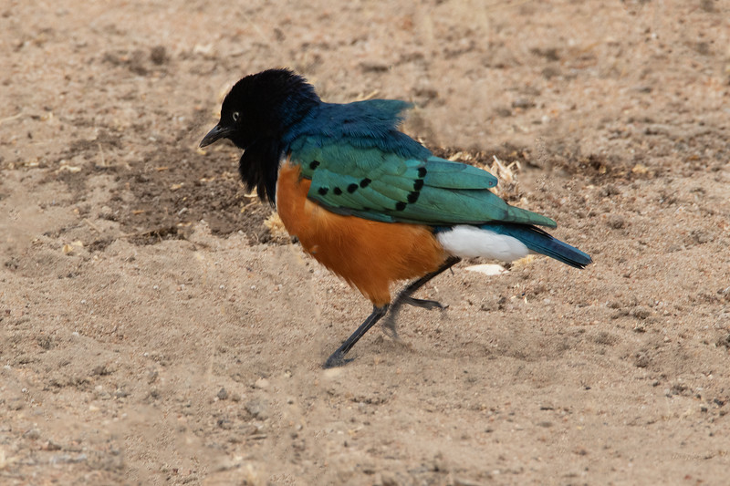 Superb  Starling, Africa