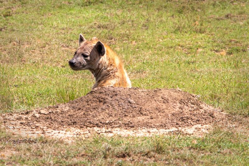 Spotted Hyaena, Africa