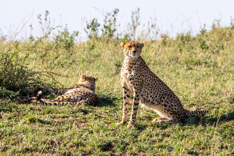 Cheetah, Africa