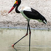 Sadle-billed Stork, Africa