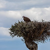 Hooded Vulture, Africa