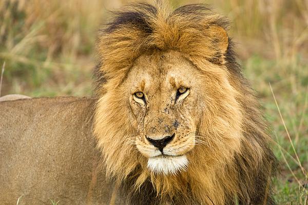 #AF 006 Lion, Maasai Mara, Kenya