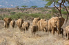 #AF 042 Elephants walking in a Line, Samburu Natl. Reserve, Kenya