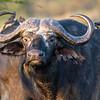 Cape Buffalo, Africa