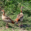 Egyptian Goose, Africa