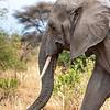 Elephant, Africa