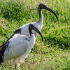 Sacred Ibis, Africa