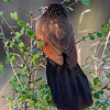 White-browed Coucal, Africa