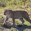 Leopard, Africa