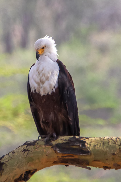 African Fish Eagle, Africa