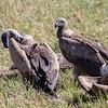Rupell's Griffon Vulture, Africa