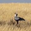 Secretary Bird, Africa