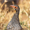 Yellow-necked Spurfowl, Africa