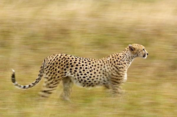 #Cheetah Stalking Prey, Maasai Mara, Kenya