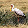 Yellow-billed Stork, Africa
