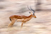 #AF 020 Impala on the Run, Sambura Natl. Reserve, Kenya