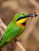 #AF 038 Little Bee-eater, Lake Manyara Natl. Park, Tanzania