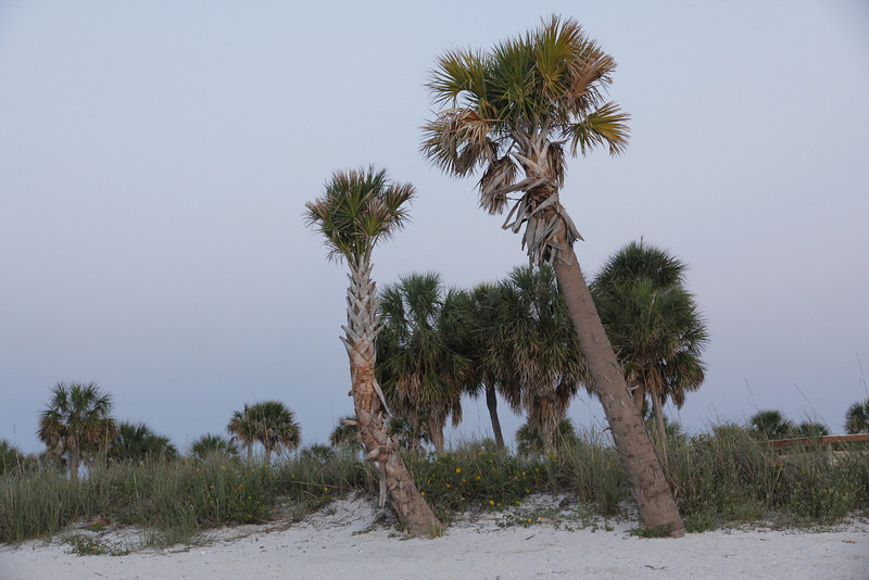 Dated Palms