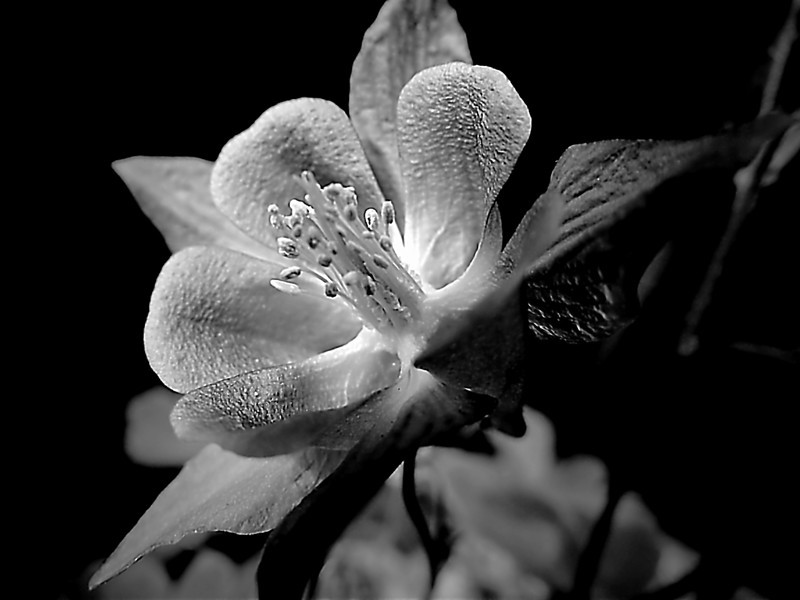 Monochrome columbine