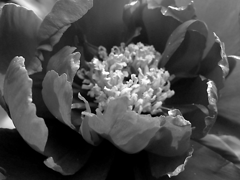 Monochrome peony with large center