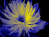 Peony in blue and yellow