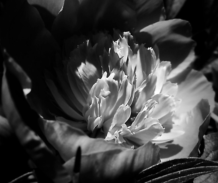 Peony center in monochrome