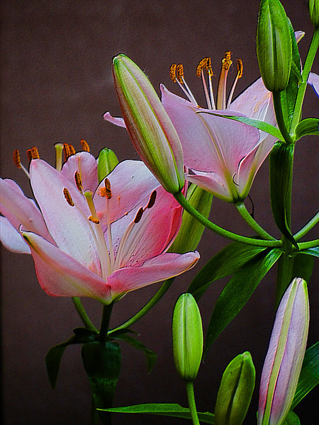 A bit bolder treatment of some pink asiatic lilies with added texture.