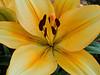 Creamy orange asiatic lily