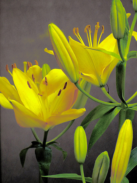 The yellow version of the pink asiatic lilies.