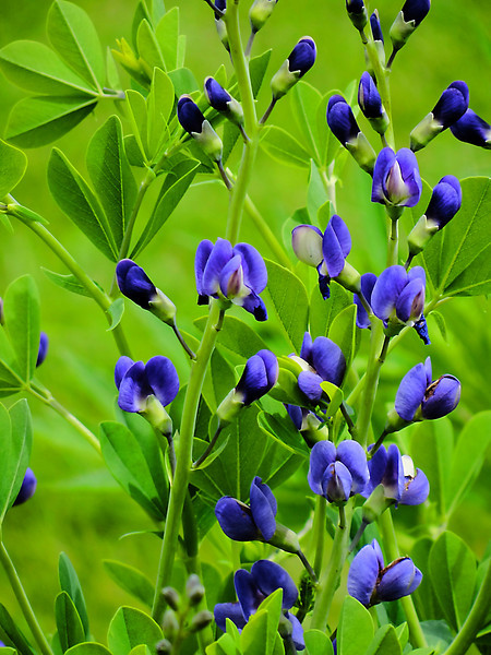 False indigo up at Glacier Ridge Metro Park outside Dublin, Ohio in the Spring.