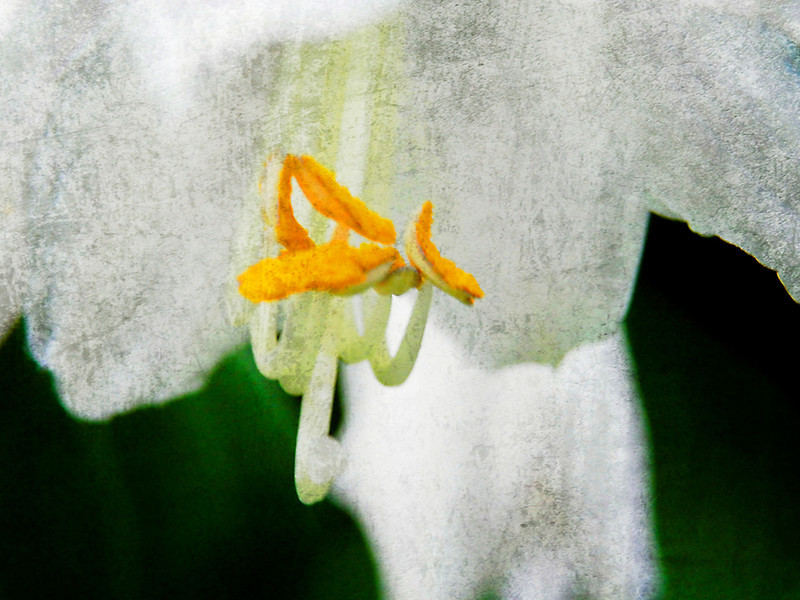 Inside a white hosta flower with added texture.