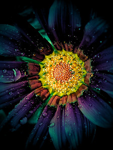 Gerbera Daisy in jewel toned colors