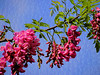 Pink locust tree blossoms on tree with blue sky behind it with texture added.