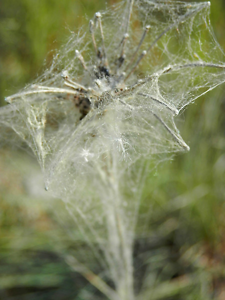 A very spider web covered dried queen anne's lace flower.