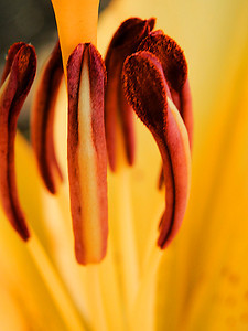 The center of it all. Center of a lily.