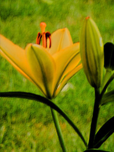 Impressionistic yellow lily against green grass.