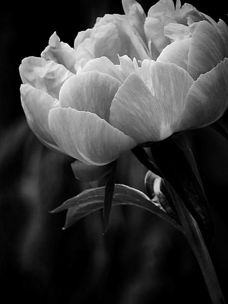 Peony bloom in a garden in monochrome.