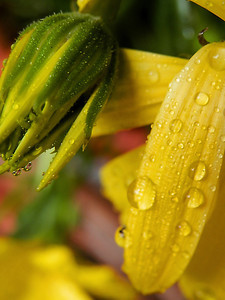 Wet yellow africa daisy petal and bud.