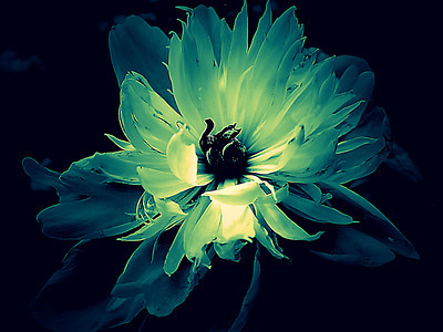 Blue and cream edit of a peony bloom that is slightly past its prime.