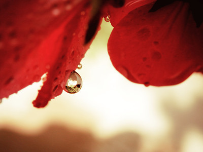 Red petals with water drops.