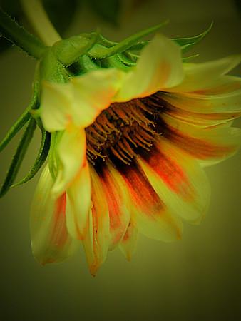 African daisy in green light.