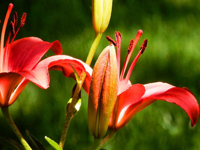 Orange lilies against green grass