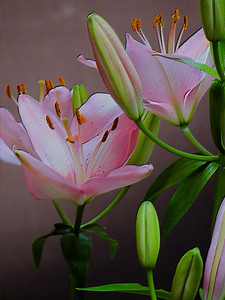 Delicate pink asiatic lilies.