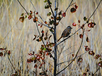 English sparrow on pear tree in a grass field at Glacier Ridge Metro Park outside Dublin, Ohio on a Spring day,