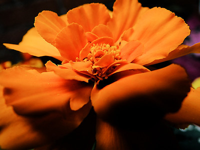 Macro orange marigold edit.