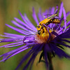 Yellow and black beetle on purple aster