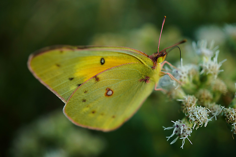 Small yellowish butterfly on white flowers
