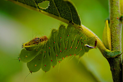 Luna moth caterpillar on leaf